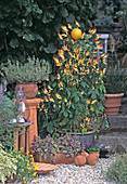 Artemisia schmidtiana 'NANA' (Edelraute), AJUGA