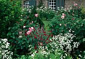 Tanacetum parthenium 'Pleniflorus' (Gefuelltes Mutterkraut), Lychnis coronaria (Vexiernelke), Rosa (Rosen), Beet mit weissen Rosen am Haus
