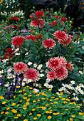 Dahlia 'Pianella' (Kaktusdahlien), Melampodium (Sterntaler), Argyranthemum (Margerite)