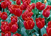 Tulipa Crispa 'Arma'(Gefranste TULPEN)