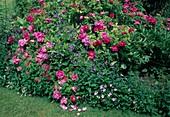 Rosa gallica officinalis (Apothekerrose), historisch, einmalblühend, duftend, Clematis integrifolia (Kleine Stauden-Waldrebe)
