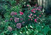 Rosa / Strauchrose in Begleitung von Allium Christophii / Sternkugellauch und Bergenia / Bergenie