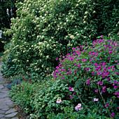 Geranium psilostemon (Armenischer Storchschnabel), Hydrangea serrata 'Amagi Amacha' (Berg-Hortensie), Erigeron (Feinstrahlaster), Polygonum (Knöterich)