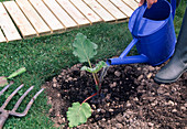 Frisch gepflanzten Rhabarber (Rheum) gut angiessen