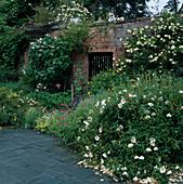 Sommerbeet mit Cistus (Zistrose), Potentilla (Fingerstrauch), Geranium (Storchschnabel), Alchemilla (Frauenmantel), Lavatera (Buschmalve) und Rosa (Rosen, Kletterrosen) an Backsteinmauer