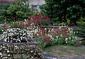 Centranthus ruber (Spornblumen), Convolvulus cneorum (Silberwinde) und Erigeron karvinskianus (Spanisches Gänseblümchen)