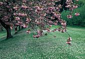 Prunus serrulata 'Kiku-Shidare-Zakura' (Hängende Nelken-Kirsche)