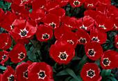 Tulipa 'Apeldoorn' (Tulpen) , Darwin-Hybriden