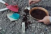 Kaffeesatz auf die Samen von Möhren, Karotten (Daucus carota) fördert die Keimung und wirkt gleichzeitig als Dünger