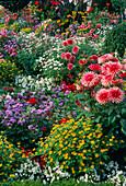 Buntes Blumenbeet : Dahlia 'Pianella' (Kaktusdahlien), Melampodium (Sterntaler), Ageratum (Leberbalsam), Argyranthemum (Margerite)