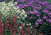Beet mit Aster amellus (Bergaster) und Centranthus (Spornblumen)