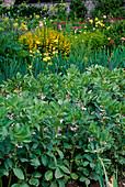 Blühende dicke Bohnen (Vicia faba), hinten blühender Staudengarten