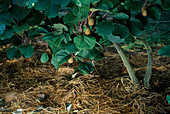 Kiwi mit Stroh MULCHEN