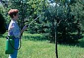 Frau spritzt Prunus dulcis (Mandelbaum , suesse Mandel) gegen Krankheiten und Schädlinge