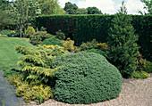 KONIFERENGARTEN : Juniperus - gelber Pfitzerwacholder , blauer Zwergwacholder, Sequoiadendron giganteum (Mammutbaum)