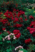 Rosengarten : Rosa 'Pink Grootendorst' (Nelkenrose) , 'Madame Fernandel' (Floribundarose)