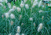Pennisetum alopecuroides 'Little Bunny' (Kleines Lampenputzergras)