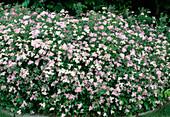 Spiraea japonica Alpina - Zwerg-Spierstrauch