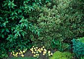 Ilex aquifolium 'Argenteo-Marginata' (Weissbunte Stechpalme), Cornus (Hartriegel), Dorotheanthus (Mittagsblumen)