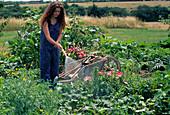 Frau giesst im Bauerngarten mit Gartenschlauch, Lilium (Lilien), Godetia (Sommerazalee), Anthemis tinctoria (Färberkamille), Zuckermais (Zea mays), Rote Bete (Beta vulgaris), Kürbis (Cucurbita), Artischocken (Cynara scolymus)