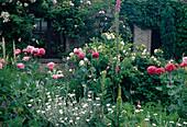 Beet mit gefuelltem Papaver somniferum (Schlafmohn), Lychnis coronaria 'Alba' (Vexiernelke), Rosa (Rosen), Verbascum (Königskerzen) und Digitalis (Fingerhut)