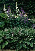 Campanula latifolia var. macrantha - Wald-Glockenblume