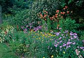 Beet mit Verbena bonariensis (Eisenkraut) , Lilium davidii var. willmottiae (Davids-Lilien), Aster amellus 'Mira' (Berg-Aster, Sommer-Aster)