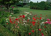 Beet mit Papaver rhoeas (Klatschmohn), Ammi (Knorpelmöhre), Allium (Zierlauch), Acanthus (Bärenklau), Blick über Rasenfläche auf Gehölze und Staudenbeete