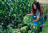 Frau erntet Batavia - Salat (Lactuca), Beet mit Zuckermais (Zea mays)
