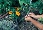 Tomate (Lycopersicon) an Stütze anbinden, Tagetes (Studentenblumen) als Begleitung