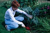 Cardy (Cynara cardunculus) anhäufeln um die Stiele zu bleichen