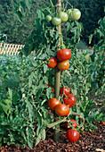 Tomaten 'Carmello' (Lycopersicon), Fleischtomate im Beet gemulcht