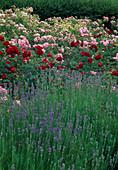Rosenbeet mit Rosa (Rosen) in rot und rosa blühend, Lavendel (Lavandula)