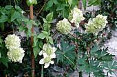 Clematis florida 'Alba Plena' (Gefuellte Waldrebe)
