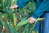 Zuckermais ernten : Frau bricht Maiskolben ab