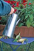 Balkonkasten pflegen : ausputzen und gießen