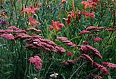 Achillea millefolium 'Excel' (Schafgarbe) und Hemerocallis 'Pink Damask' (Taglilie)