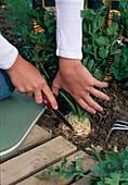 Sellerie (Apium graveolens) ernten