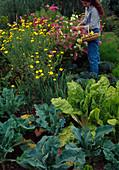 Frau pflückt Cosmos (Schmuckkörbchen) im Bauerngarten, Anthemis tinctoria (Färberkamille), Mangold (Beta vulgaris), Brokkoli (Brassica)