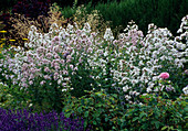 Campanula lactiflora 'Loddon Anne' - Dolden-Glockenblume