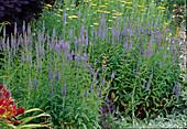 Veronica spicata 'Blauteppich' (Ehrenpreis) und Achillea filipendulina (Schafgarbe)