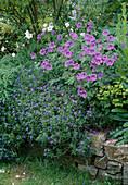 Geranium x magnificum (Storchschnabel), Lithospermum purpurocaeruleum (Blauroter Steinsame)
