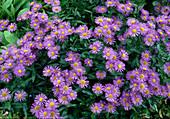 Erigeron cultorum 'Adria' (Feinstrahlaster , Garten-Berufskraut)
