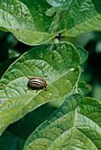 Kartoffelkäfer (Leptinotarsa decemlineata) auf Kartoffelblatt (Solanum tuberosum)