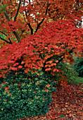Acer japonicum 'Aconitifolium' (Japanischer Feuer-Ahorn) mit leuchtend rotem Herbstlaub, Pieris (Schattengloeckchen)