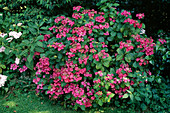 Hydrangea macrophylla (