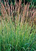 Calamagrostis x acutiflora 'Karl Förster' - Garten-Reitgras