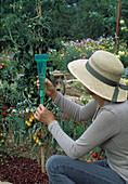 Frau prüft Wassermenge im Regenmesser, Tomaten (Lycopersicon)