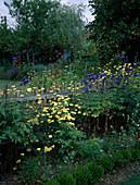 Bauerngarten mit Stauden am Zaun : Anthemis tinctoria (Färberkamille), Delphinium (Rittersporn), Phlomis (Brandkraut), Buxus (Buchs)