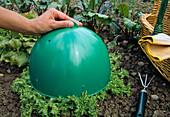 Endiviensalat (Cichorium endivia) zum Bleichen abdecken